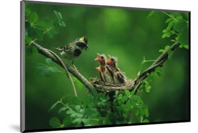 Nesting Baby Birds and Mother--Mounted Art Print