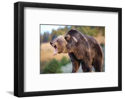 North American Grizzly Roaring--Framed Art Print