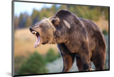 North American Grizzly Roaring--Mounted Art Print