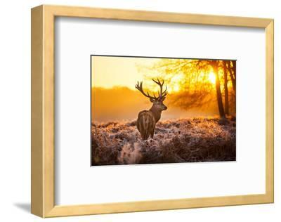 Red Deer in Morning Sun--Framed Art Print