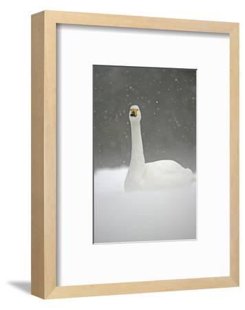White Goose During Snow Fall--Framed Art Print