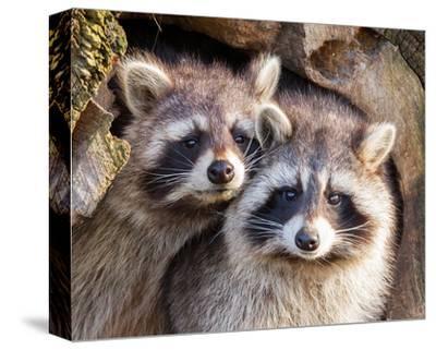 Adult Raccoon Nest Closeup--Stretched Canvas Print
