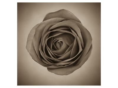 Close-Up of Sepia Rose--Framed Art Print