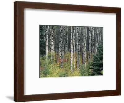 Autumn Birch-Derek Jecxz-Framed Art Print