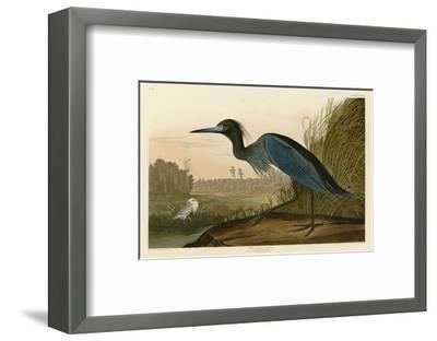 Blue Crane or Heron-John James Audubon-Framed Art Print