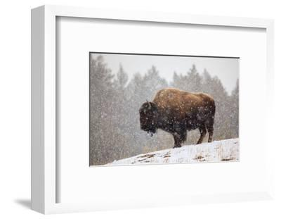 Bison in Snow-Jason Savage-Framed Art Print