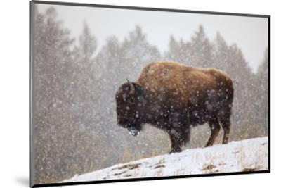 Bison in Snow-Jason Savage-Mounted Art Print