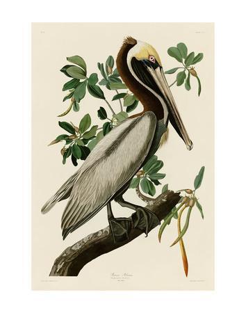 Brown Pelican II-John James Audubon-Framed Art Print