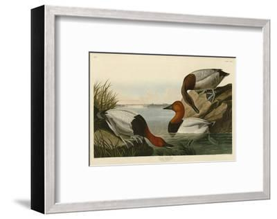 Canvas Backed Duck-John James Audubon-Framed Art Print
