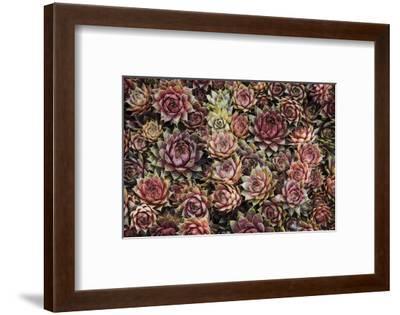 Succulents-David Lorenz Winston-Framed Art Print