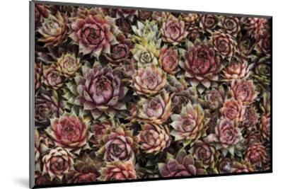 Succulents-David Lorenz Winston-Mounted Art Print