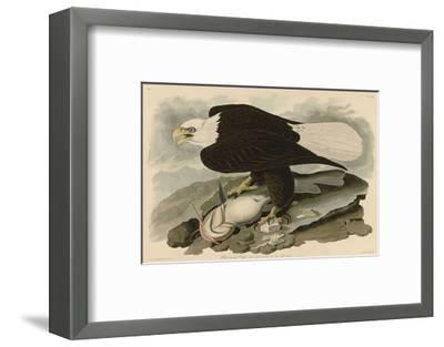 White-Headed Eagle-John James Audubon-Framed Art Print