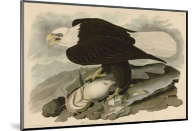 White-Headed Eagle-John James Audubon-Mounted Art Print