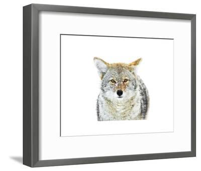 Winter Coyote-Jason Savage-Framed Art Print