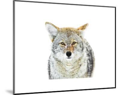 Winter Coyote-Jason Savage-Mounted Art Print