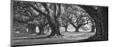Oak Alley West Row-William Guion-Mounted Art Print