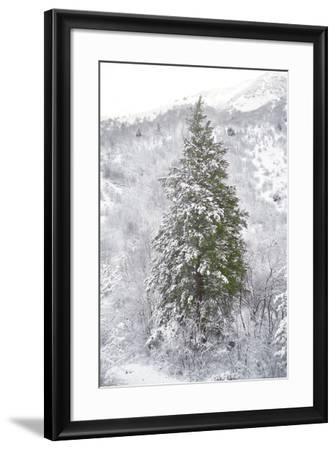 Snow Conifer-Chris Dunker-Framed Giclee Print
