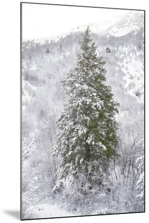 Snow Conifer-Chris Dunker-Mounted Giclee Print