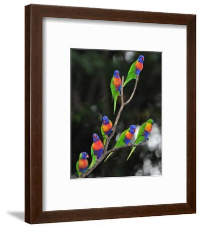 Australian Rainbow Lorikeets--Framed Art Print