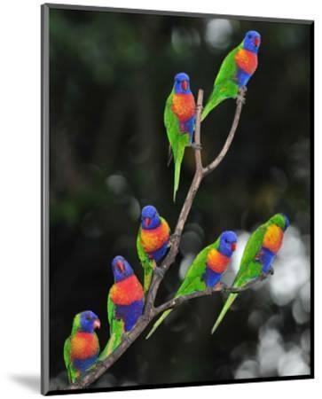 Australian Rainbow Lorikeets--Mounted Art Print