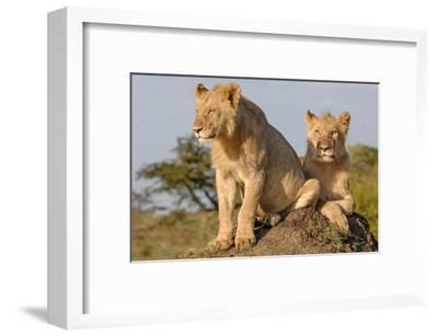 Lionesses on the Look Out-Martin Fowkes-Framed Giclee Print