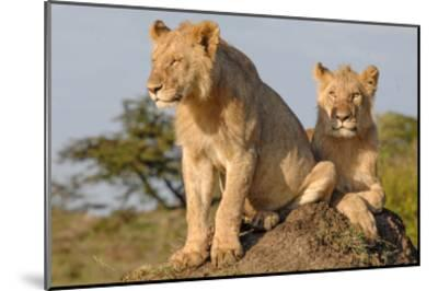Lionesses on the Look Out-Martin Fowkes-Mounted Giclee Print