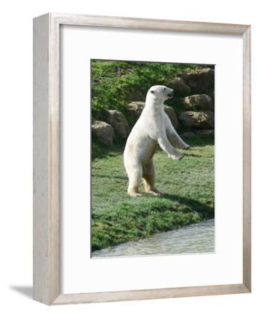 Polar Bear Standing Up-Martin Fowkes-Framed Giclee Print