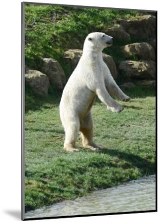 Polar Bear Standing Up-Martin Fowkes-Mounted Giclee Print