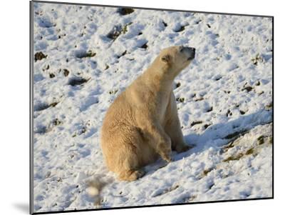 Seated Polar Bear Full Bleed-Martin Fowkes-Mounted Giclee Print
