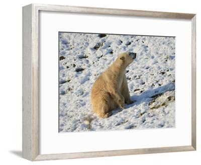 Seated Polar Bear Full Bleed-Martin Fowkes-Framed Giclee Print