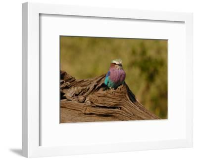 Lilac Breasted Roller-Martin Fowkes-Framed Giclee Print