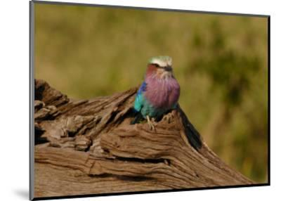 Lilac Breasted Roller-Martin Fowkes-Mounted Giclee Print