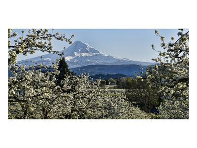 Schwartz - Pear Blossom Majesty-Don Schwartz-Framed Art Print