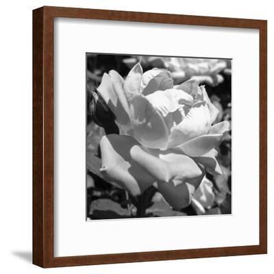 Foster Avenue Rose-Sheldon Lewis-Framed Art Print