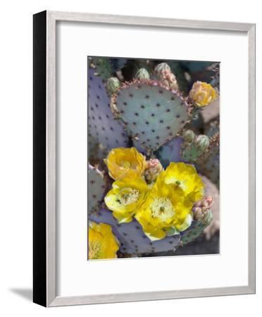 Purple Prickly Pear Cactus Blossoms-Murray Bolesta-Framed Art Print