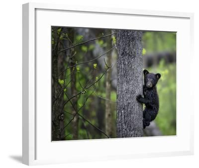 Bears at Play VI-PHBurchett-Framed Art Print