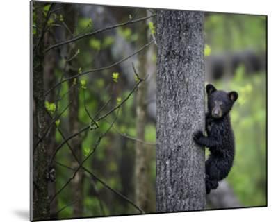 Bears at Play VI-PHBurchett-Mounted Art Print