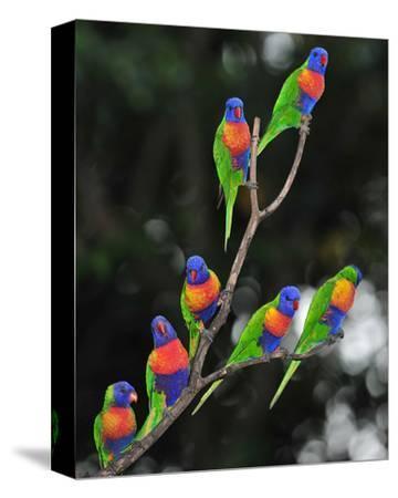 Australian Rainbow Lorikeets--Stretched Canvas Print