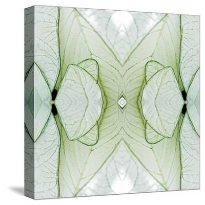 White Caladium-Rose Anne Colavito-Stretched Canvas Print