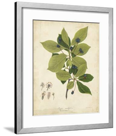 Black Gum Tree Foliage-John Torrey-Framed Giclee Print