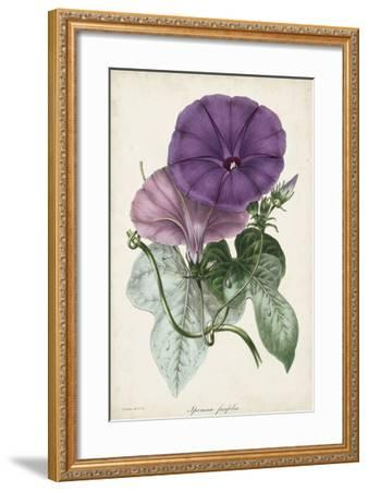 Plum Morning Glory-Paxton-Framed Giclee Print