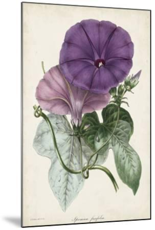 Plum Morning Glory-Paxton-Mounted Giclee Print