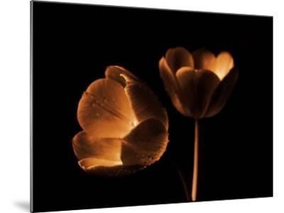 Tulip Duo-Ilona Wellmann-Mounted Art Print