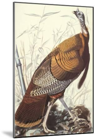 Wild Turkey-John James Audubon-Mounted Art Print