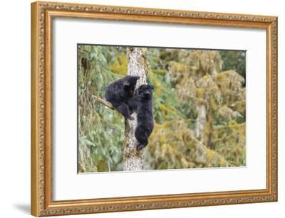 Black Bear Cubs in Tree-Donald Paulson-Framed Giclee Print