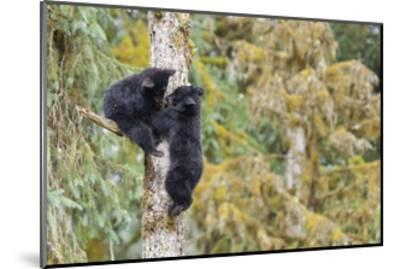 Black Bear Cubs in Tree-Donald Paulson-Mounted Giclee Print