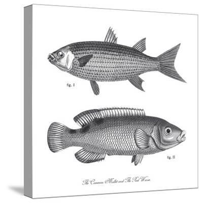Sea and River Fish I-The Chelsea Collection-Stretched Canvas Print