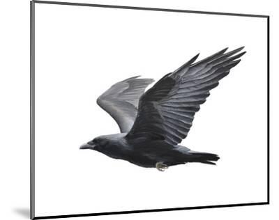 Raven-Todd Telander-Mounted Art Print