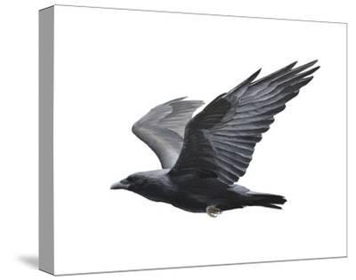 Raven-Todd Telander-Stretched Canvas Print