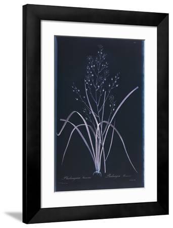 Lucent - Ramosum-Chris Dunker-Framed Giclee Print